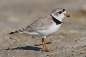 north manitou piping plover