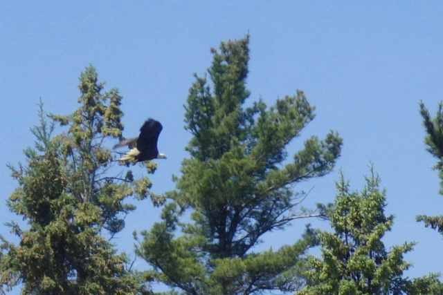 Bald eagle near McCauley's Point