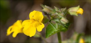 Michigan Monkey Flower