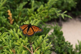 Monarch Butterflies are common on Beaver Island