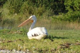 White Pelican near Whisky Point